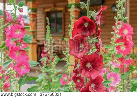Red And Pink Flowers Of Mallow (lat. Alcea Rosea) On The Background Of A Wooden Rural House.