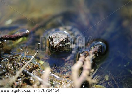 A Grey Brown Toad Frog Sits In The Water