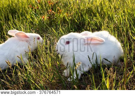 Meat Breed Rabbits. Two Pannon White Rabbits Are Sitting On The Green Grass. Two White Broiler Rabbi