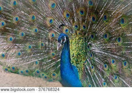 A Beautiful Male Peacock Fluffed A Colorful Multicolored Tail