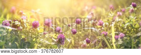 Clover Flower, White Flower Of Clover Between Red Flower Of Clover, Beautiful Nature In Meadow