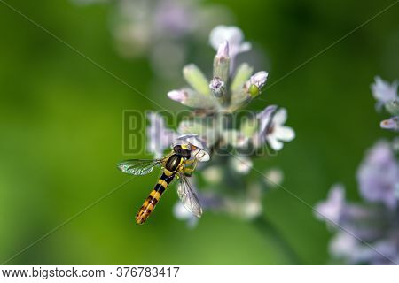 A Marmalade Hoverfly (episyrphus Balteatus) Sits On A Flower And Sucks Nectar.