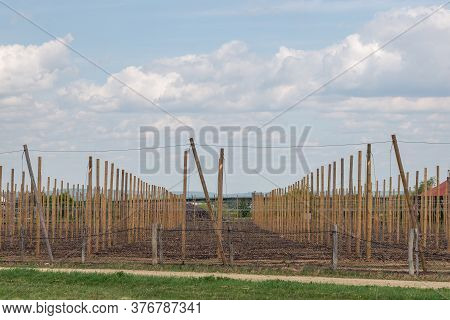 Row Of Young Fruit Trees Supported By Trellis