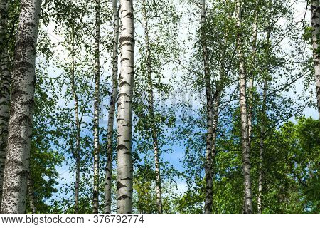 The White Trunks Of Birches. Birch Grove. Beautiful Summer Natural Background. A Real Russian Landsc