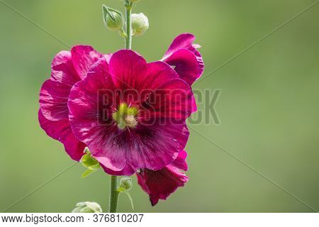 Large Wine-colored Hollyhock Flowers, Alcea Rosea, Soft Green Background Copy Space