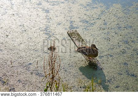 Lonely Duck Stands On The Board, Basking In The Sun, Against The Green Pond. Wildlife Fauna.