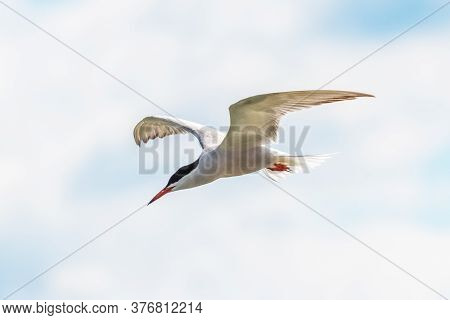 White Seagull In The Sky, Seagull In Flight