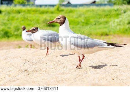 Black-headed Gull, River Gull, Chroicocephalus Ridibundus. A Group Of Birds On The Beach. River Coas