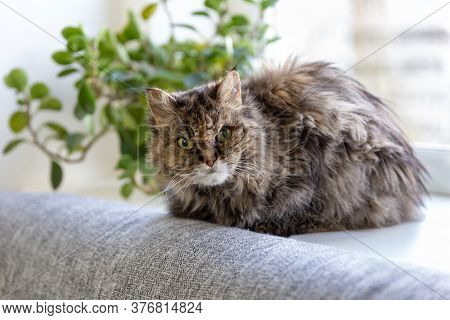 A Old Gray Shaggy Cat With Green Eyes Lies On A Windowsill And Looks Into The Camera, A Green Housep