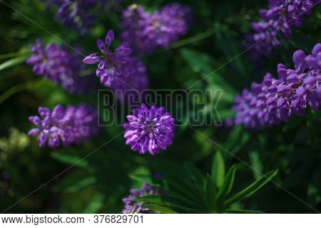 Lupinus Field With Pink Purple, Blue And Violet Flowers. Lupinus Meadow.  Top View.