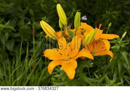 Orange Yellow Lilies Bloom On A Flowerbed In A Home Garden.