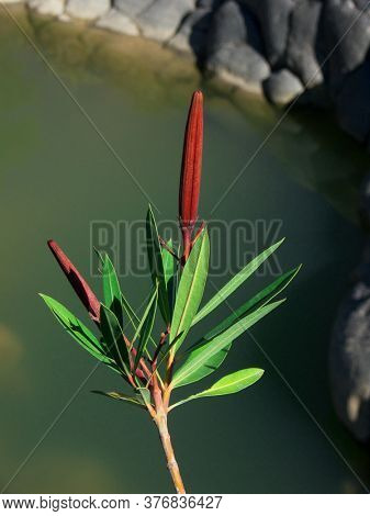 leaves and red fruits of oleander growing along Simeto River, one of landmark of Sicily nature