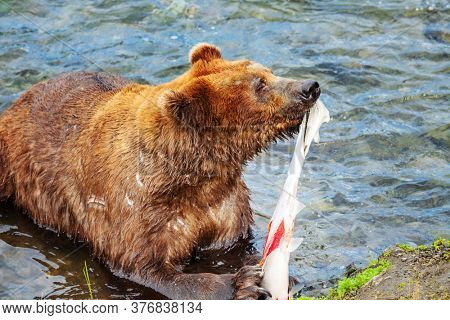 Wild Brown bear on Alaska, Katmai National Park, wildlife scene
