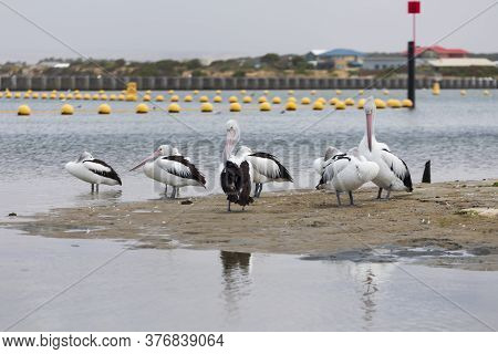 A Flock Of Pelicans Sitting On The Side Of A Large Estuary Near The Mouth Of The River Murray In Reg