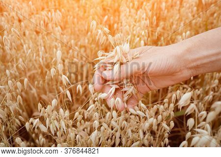 Ears Of Ripe Oats In A Womans Hand. Fertility Concept