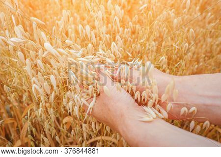 Ears Of Ripe Oats In Female Hands.