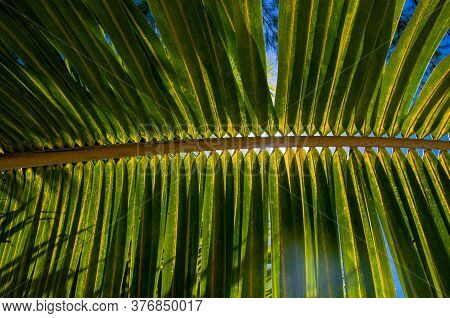 Single Giant Palm Frond In French Polynesia