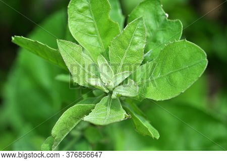 Pluchea Indica Is A Species Of Flowering Plant In The Aster Family, Asteraceae. Its Common Names Inc