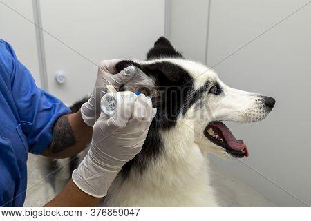Veterinarian Applying Medicine To Husky Siberian Dog Ear.