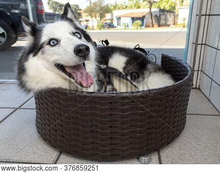 Siberian Husky Dog Lying In Bed