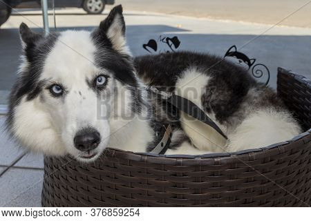 A Siberian Husky Dog Lying In Bed.