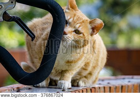 Cuty Chubby Orange Domestic Cat Sniffs The Bicycle Handle To Investigate.