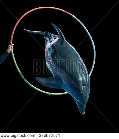 Dolphin Jumping Over A Hoop Isolated On A Black Background. Mammal Marine Animal.