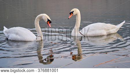 Beautiful Elegant White Swans Swimming In The Lake Bruje On The Western Slopes Of Fruska Gora Mounta