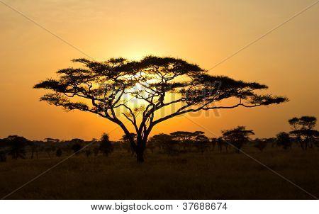 aufgehende Sonne, die durch eine Akazie in den Serengeti shinning