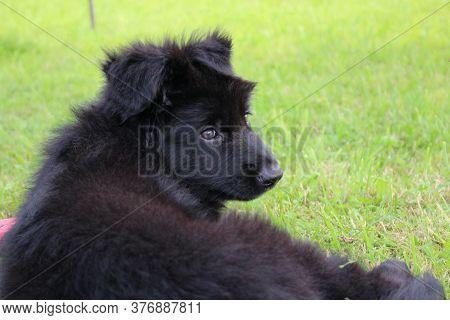 Beautiful Black German Shepherd Puppy Is Lying On The Green Grass