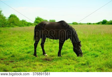 One Black Gelding Is Standing On The Pasture And Eating The Grass.