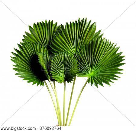 Tropical Green leaves. Summer. Green leaf. Licuala grandis leaf