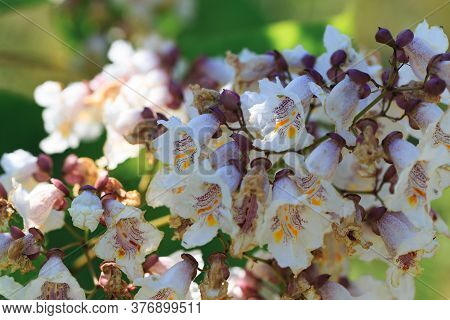 Catalpa Bignonioides Flowers. A Branch Of A Tree With A Blooming Bunch Of White Flowers. Natural Bac