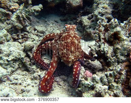 Octopus.big Blue Octopus.on The Red Sea Reefs.