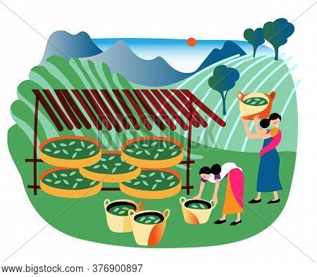 Woman Picker Worker Wearing Traditional Indian Dress Storing, Drying For Sale Tea Leaf In Basket. Jo