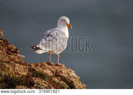 Herring Gull Perched On The Chalk Cliffs At Bempton Cliffs North Yorkshire,uk