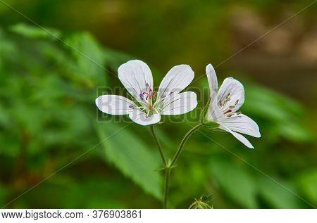 Geranium Pratense -  Meadow Geranium, Species Of Flowering Plant In The Family Geraniaceae, Native T