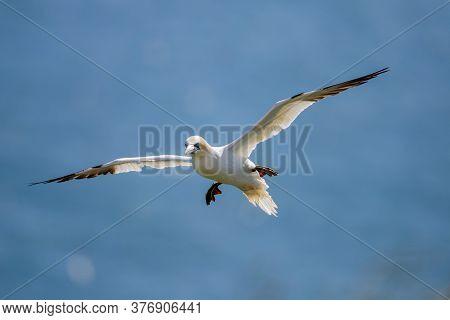 Northern Garnet Flying Against A Blue Sky At Bempton Cliffs North Yorkshire,uk