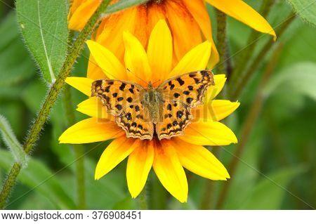 Polygonia C-album, The Comma Butterfly On Rudbeckia Hirta Flower. Russian Far East.