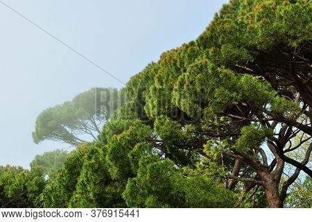 Grove Italian Pines Foggy Early Morning, Growing In Alupka Park - Monument Of Landscape Art, Crimea,