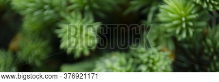 Blurred Pine Needles In Background. Closeup Photo Of Green Needle Pine Tree. Small Pine Cones And Ra