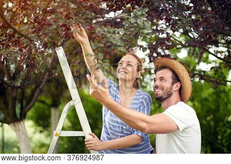 Man and womanpicking cherries.Smiling  young couple picks a cherry from a tree in cherry garden.
