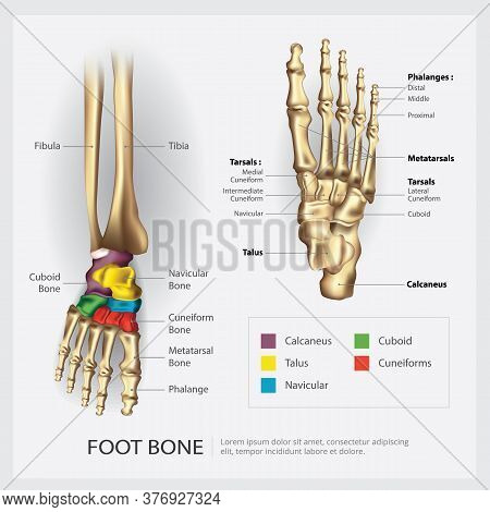 Human Foot And Leg Bone Anatomy Vector Illustration
