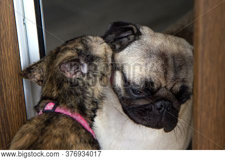 Friendship, Love Cats And Dogs. Cat Licking Pug Dog.