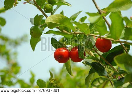 Acerola Cherry On The Tree With Water Drop, High Vitamin C And Antioxidant Fruits. Fresh Organic Ace