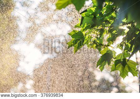 Sun shines through maple tree leaves during warm summer rain