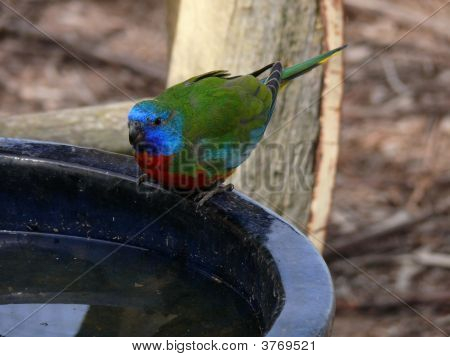 this orange bellied parrot is sitting on a drinking fountain poster