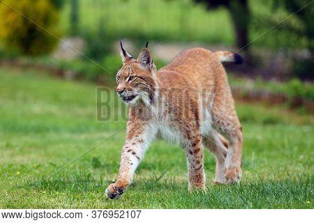 The Eurasian Lynx (lynx Lynx), Portrait. Eurasian Lynx In The Garden.big Cat On Green Background.