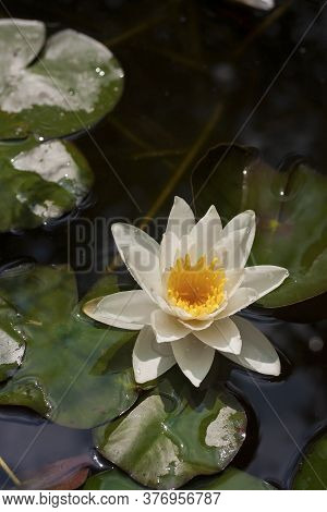Beautiful White Water Lilly And Leaves In A Garden Lake