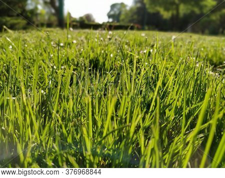 Green Grass In The Meadow. Lawn In A City Park With Trimmed Grass. Sun Rays And Glare. Horizontal Ph